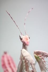 Crepe_Paper_Insects_PaperArt_Praying_orchid_mantis_by_faltmanufaktur13