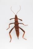 Crepe_Paper_Insects_PaperArt_thorny_devil_StickInsect_by_faltmanufaktur23 (Kopie)